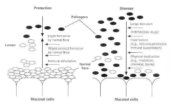 Figure 6-2. Mechanisms by which the normal flora competes with invading pathogens.