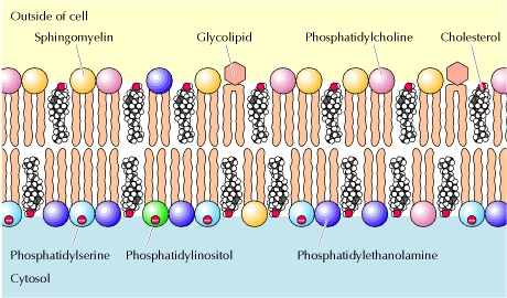 Figure 12.2. Lipid components of the plasma membrane.