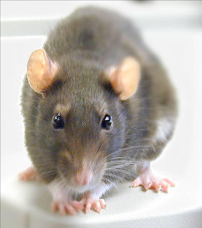 https://i2.wp.com/www.ncbi.nlm.nih.gov/projects/genome/guide/img/rat2.jpg