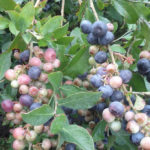 Blueberries_6