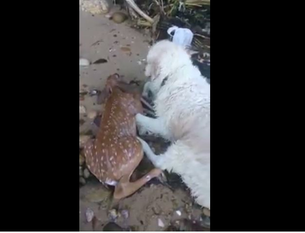 Dog Saves Deer