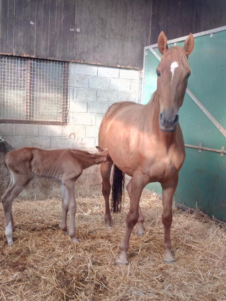 Rolls Royce NC uit Donna Belle NC Z (Diplomat NC) x Romanov - just a few hours old