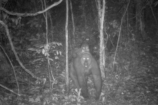 World's rarest species of gorillas pictured with babies in Cross River (Photos)