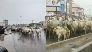 Ondo: Again, Amotekun arrests another 300 cows for flouting grazing laws