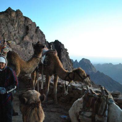 synai_camels