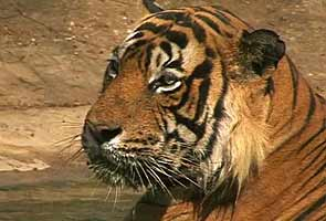 Supreme Court says ban on tiger tourism to continue