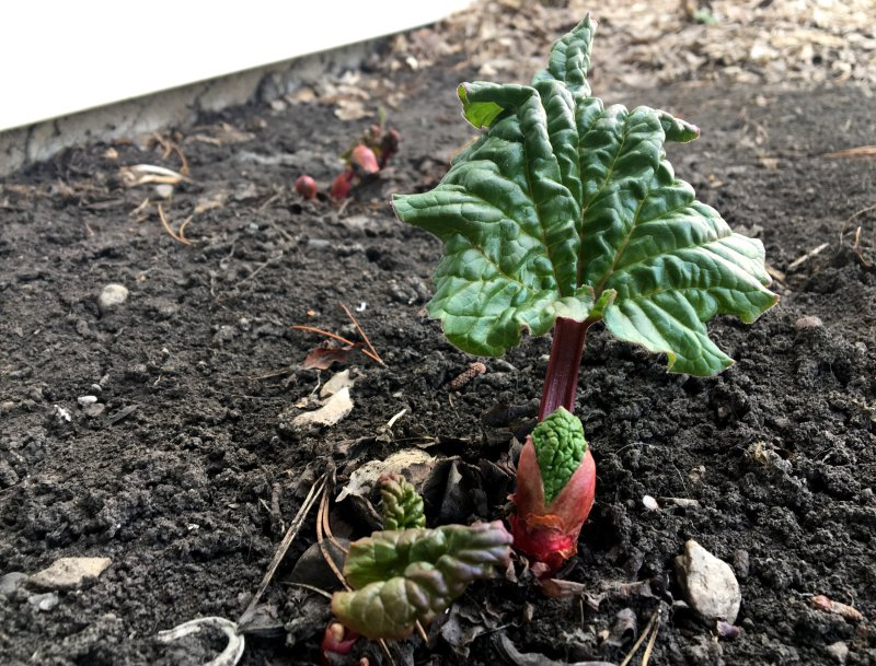 Rhubarb is coming up!