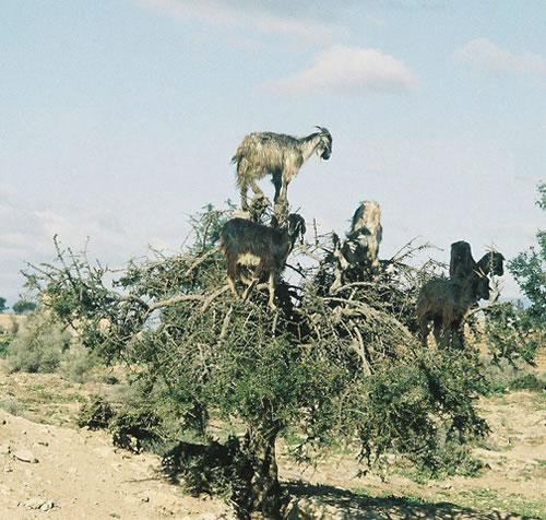 https://i2.wp.com/www.neatorama.com/images/2007-01/tree-goat-3.jpg