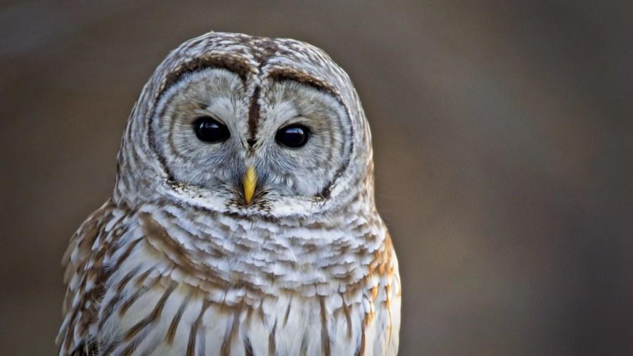 Barred Owl 02-19-12 2560A