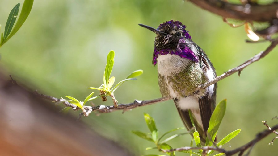 Costas Hummingbird 05-14-15 2560A