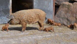2 kuesschen fuer mama wollschweine 2017 - Nachwuchs bei den Wollschweinen