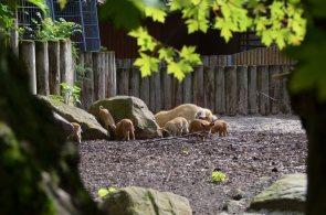 wollschweine2 im herzogenriedpark - Nachwuchs bei den Wollschweinen