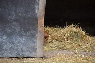 wollschweinpopo 2017 - Nachwuchs bei den Wollschweinen