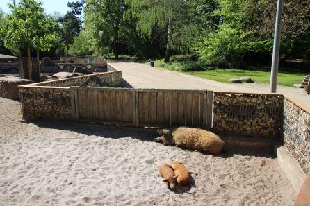 Wollschweine im Herzogenriedpark | Foto: Elmar Herding