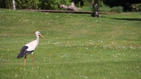 Die Gänse und Störche haben die Wiesen des Parks für sich   Foto: Elmar Herding