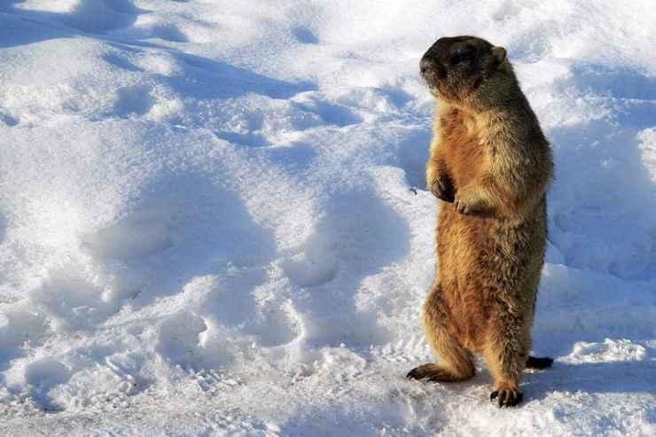 Groundhogs Aren't Prolific Breeders