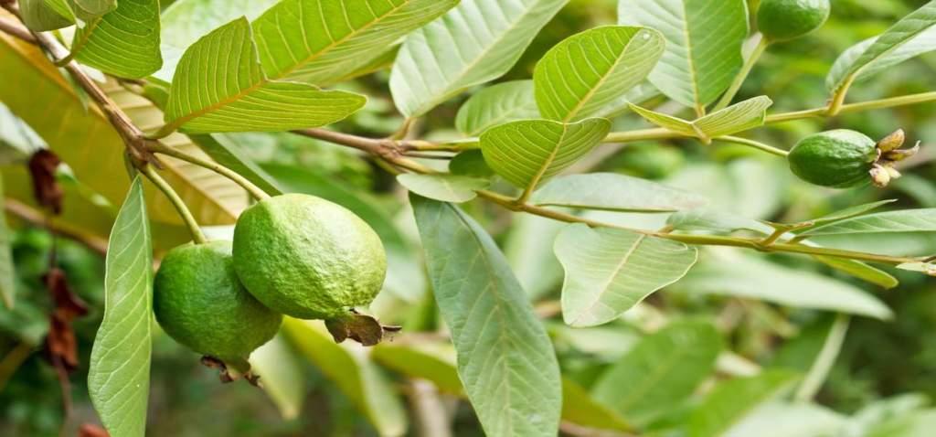 guava leaves health benefits