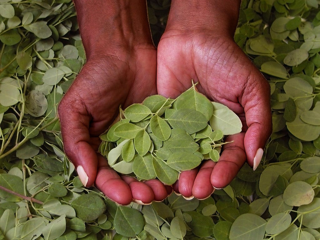 what does moringa do?