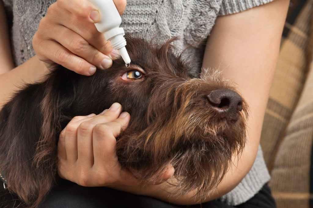 Can I Use Polysporin Eye drops For My Dog?