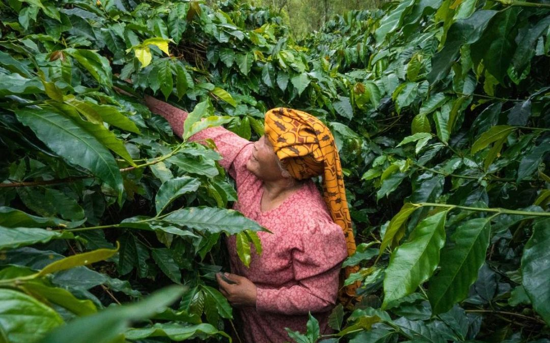 Sumatra Coffee: the captivating effects of the wet-hulled process