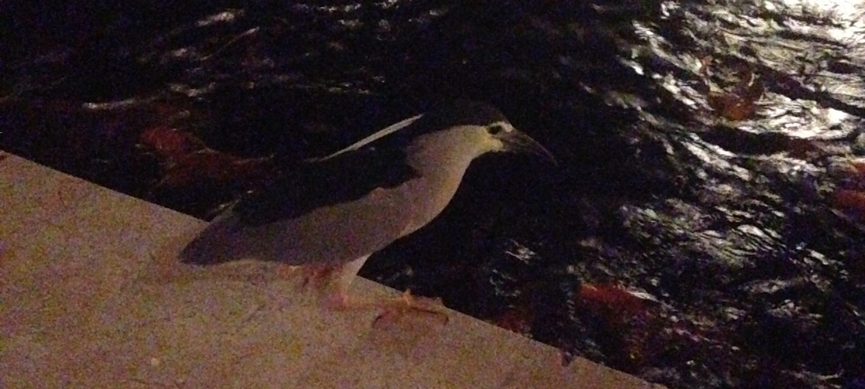 bird staring at koi