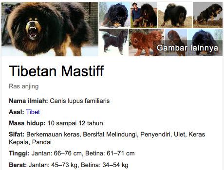anjing terlucu di dunia Tibetan Mastiff