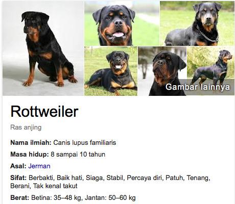 Rottweiler anjing lucu di dunia