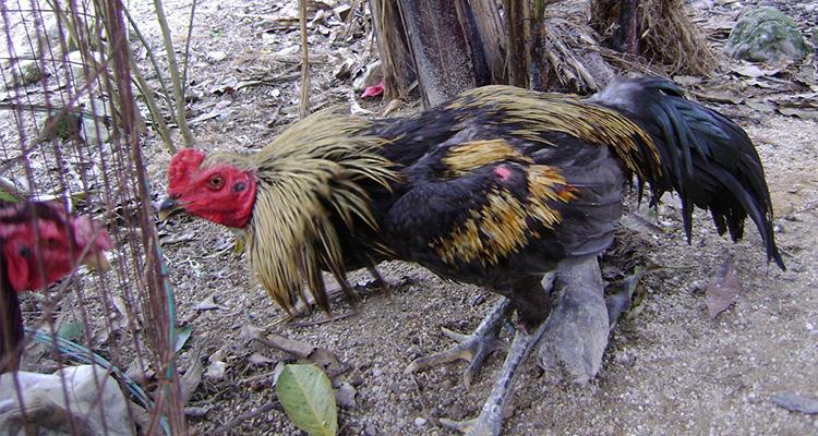 Cara-Merawat-Ayam-Aduan-Yang-Perlu-Diketahui