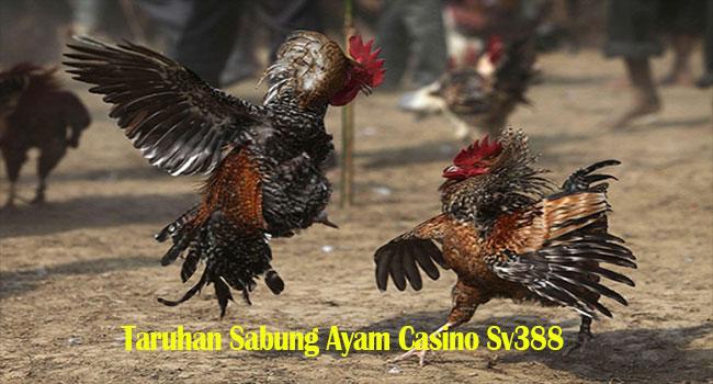 Taruhan Sabung Ayam Casino Sv388