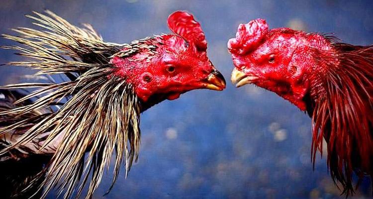 Cara Memperpanjang Nafas Ayam Aduan Agar Menang Dipertarungan