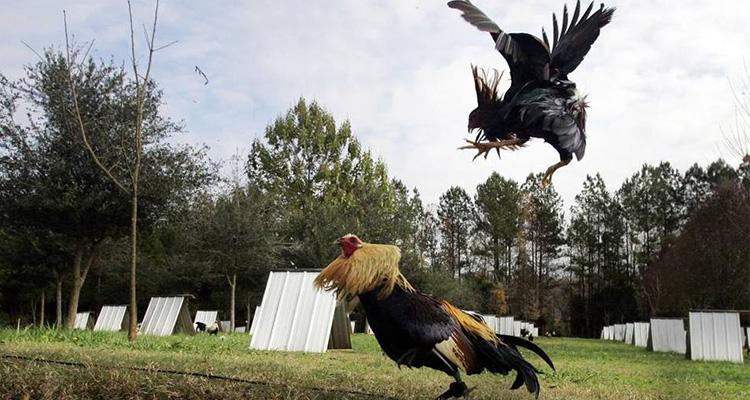 Langkah Yang Harus Diikuti Agar Menang Judi Sabung Ayam