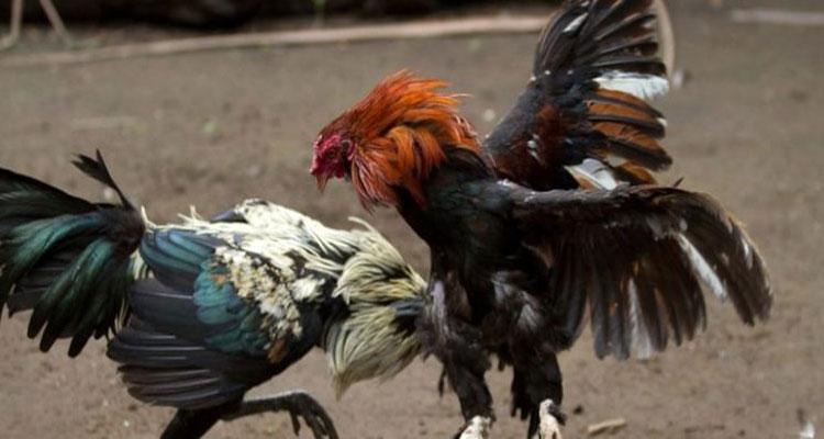 Kulitas Warna Ayam Yang Di Pilih Untuk Laga Ayam S128