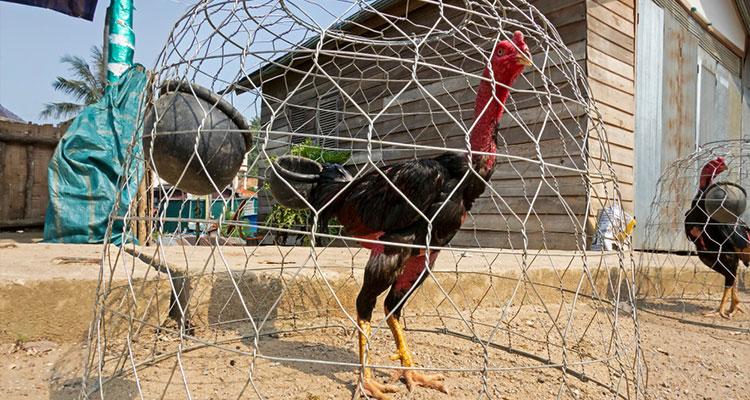 5 Ciri Anak Ayam Bangkok yang Bagus