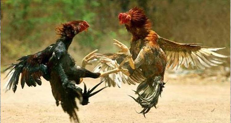 Tips Cara Mengobati Luka Pada Ayam Bangkok S128