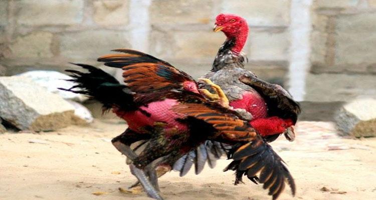 Fisik Tubuh Ayam Aduan Bangkok Paling Kuat S128