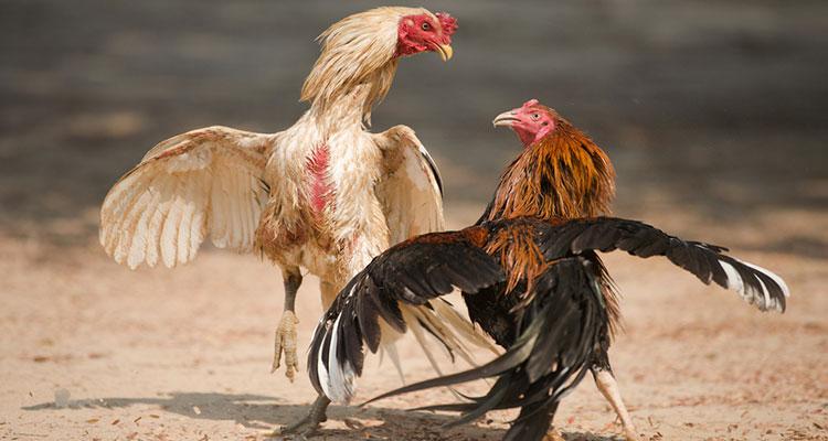 Cara Meningkatkan Mental dan Keberanian pada Ayam Bangkok
