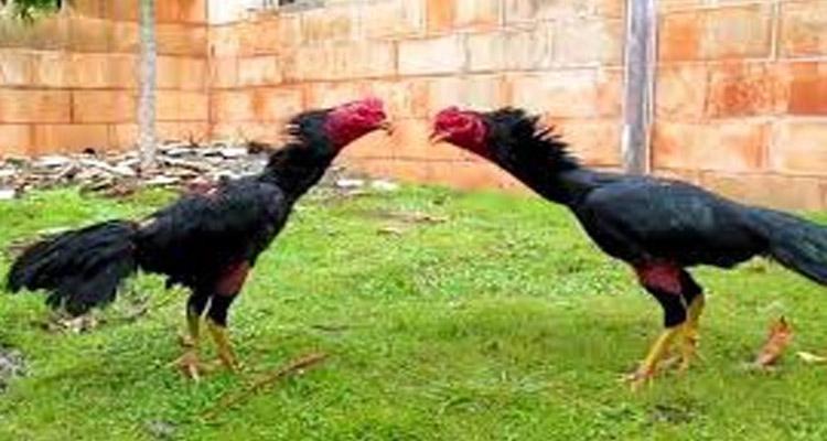 Cara Mudah Pasang Taruhan Menang Judi Sabung Ayam S128