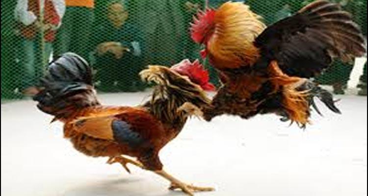 Sejarah Permainan Sabung Ayam S128