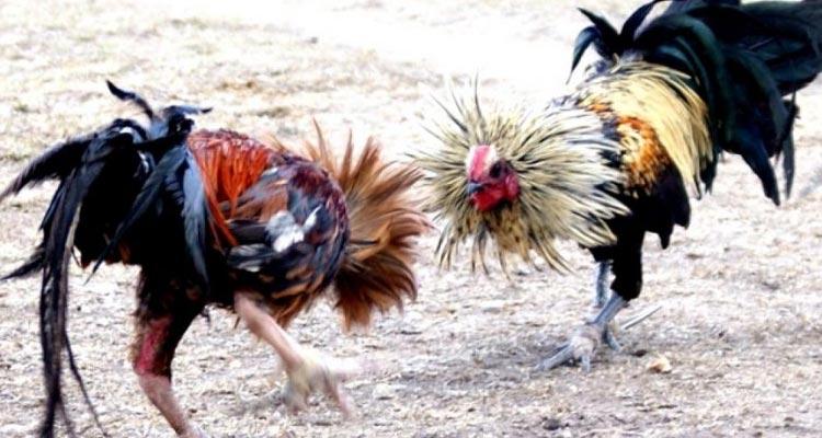 Cara Betting Taruhan Laga Ayam S128