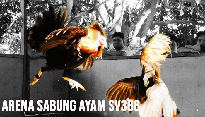 Arena Sabung Ayam SV388