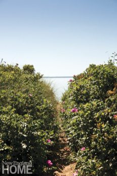 A picturesque path lined with rosa rugosa leads to Province-town Harbor.