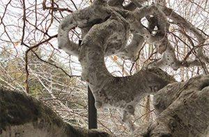 arnold arboretum beech