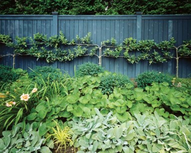 Among the plants in the espaliered apple-tree bed are brunnera, lilies, lamb'€™s ears and lirope.