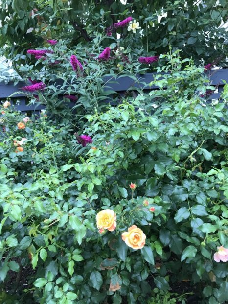 A small 2' x 3' rose garden delights its owners with blooms from June through November.