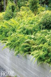 Native hay-scented fern turns color in autumn adding bountiful splashes of soft yellow.