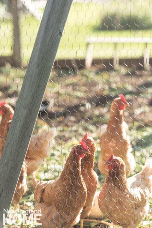 Back 40 Farm hens