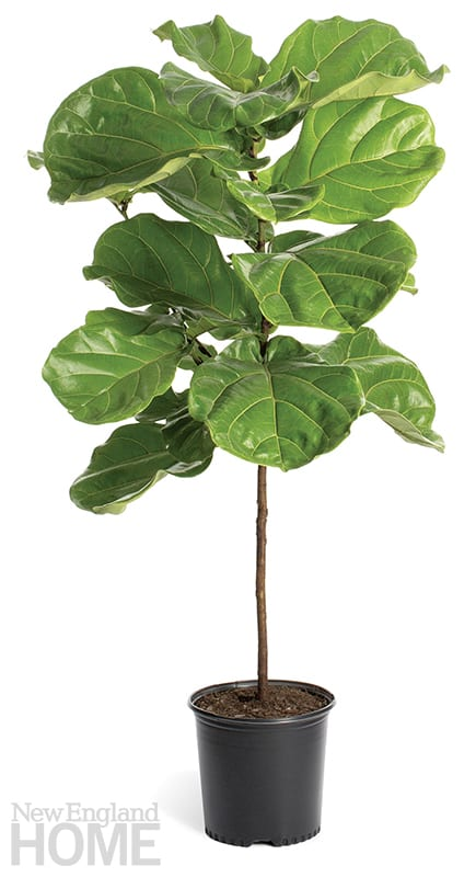 indoor trees fiddle leaf fig