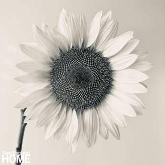 """Sunflower I, 2020, 22""""W x 22""""H framed, archival pigment print."""