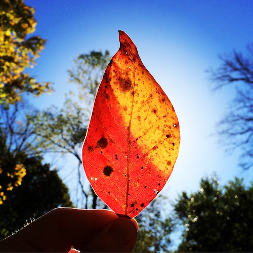 fall leaf with sunlight behind it