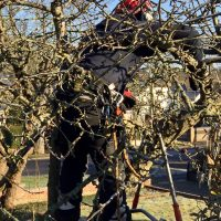 Apple Tree Pruning again
